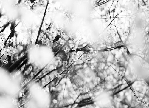 糸崎公朗『梅の花 P2260359』A4size
