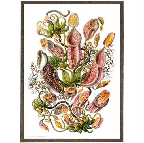 アート ポスター A4 サイズ KOUSTRUP & CO. - Carnivorous Plant 食虫植物