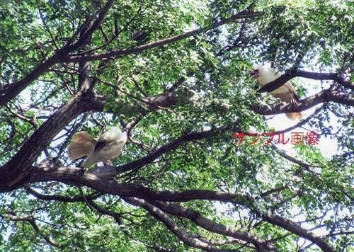 白い烏(カラス)(縁起の良い奇跡の開運写真を鈴鹿山脈で撮影)