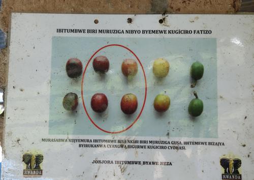 Rwanda Gitesi #7 コーヒー 生豆 500g
