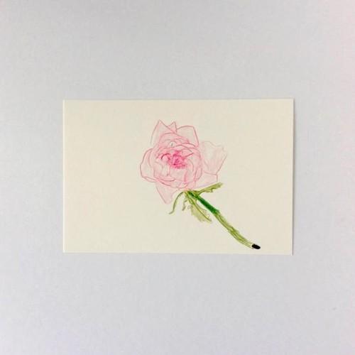 ポストカード ピンクのバラ