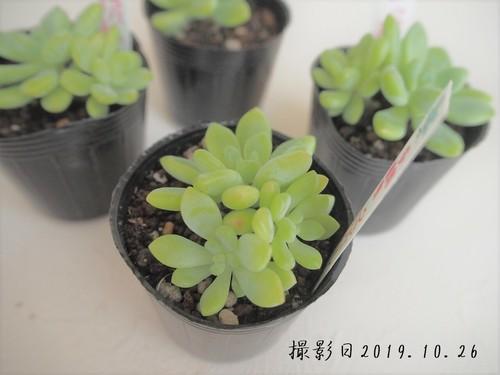 多肉植物 クラバーツム(セダム属)いとうぐりーん 産直苗 2号