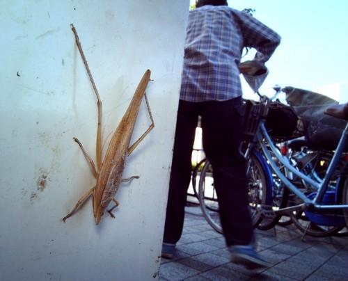 糸崎公朗『自然(=芸術)は都会の中にある:クビキリギス/茨木市』R8353569