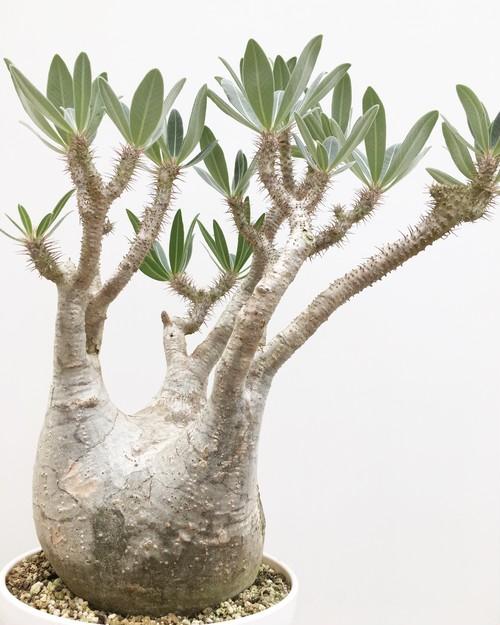 パキポディウム グラキリス 綴化 Pachypodium rosulatum var. gracilis 20170811