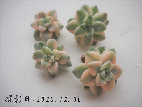 ティテュバンス錦(グラプトベリア属) 韓国苗 多肉植物