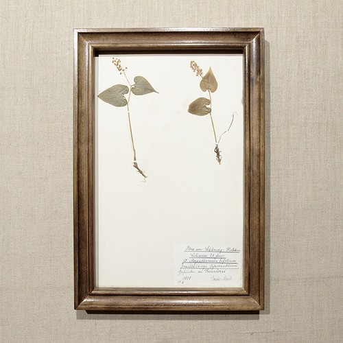 植物標本 ドイツアンティーク1908 17APR-ASHF15