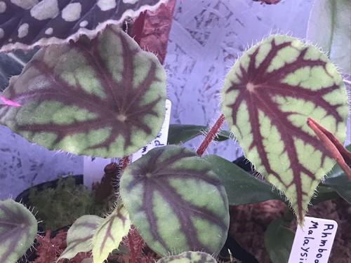 Begonia.sp quadrialate nimbaensis
