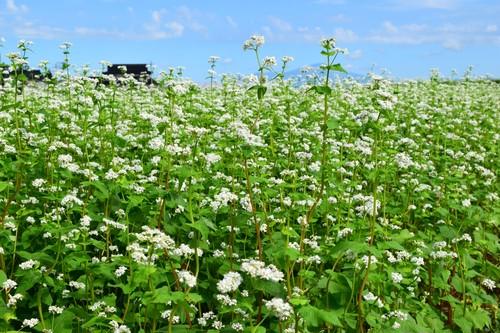 """農薬化学肥料一切不使用栽培の土遊野産"""" 小羽のそば粉"""" 粗挽き(二番粉) 500g"""