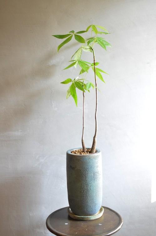 パキラ 鉢植え