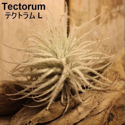 エアプランツ Tectorum L