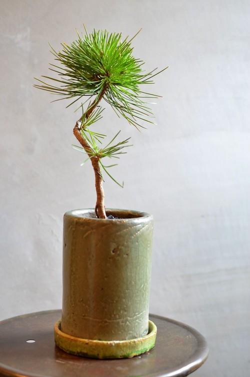 曲がりマツ 鉢植え