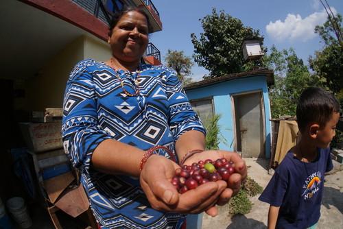中煎り 100g ネパール フェアトレード 自然栽培 コーヒー豆 ガンダギ(ネパール産)オーガニック 中炒り 生豆時 100g