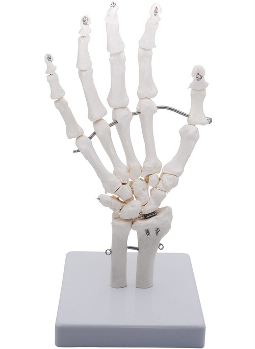 手関節モデル 手関節 手骨格模型 教育模型 右手 (手首 稼動タイプ)