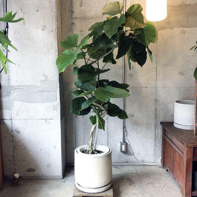 【観葉植物】フィカス・アルテシマ(店舗直接配送商品・全国配送不可)
