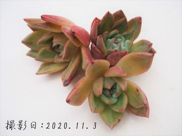Green Toxic 韓国苗 多肉植物