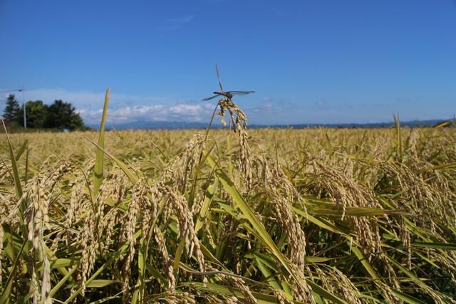 平成30年度 青森県産まっしぐら(農薬9割減、無化学肥料)玄米10キロ