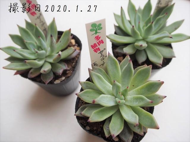 多肉植物 長葉ザラゴーサ(エケベリア属)いとうぐりーん 産直苗 2号