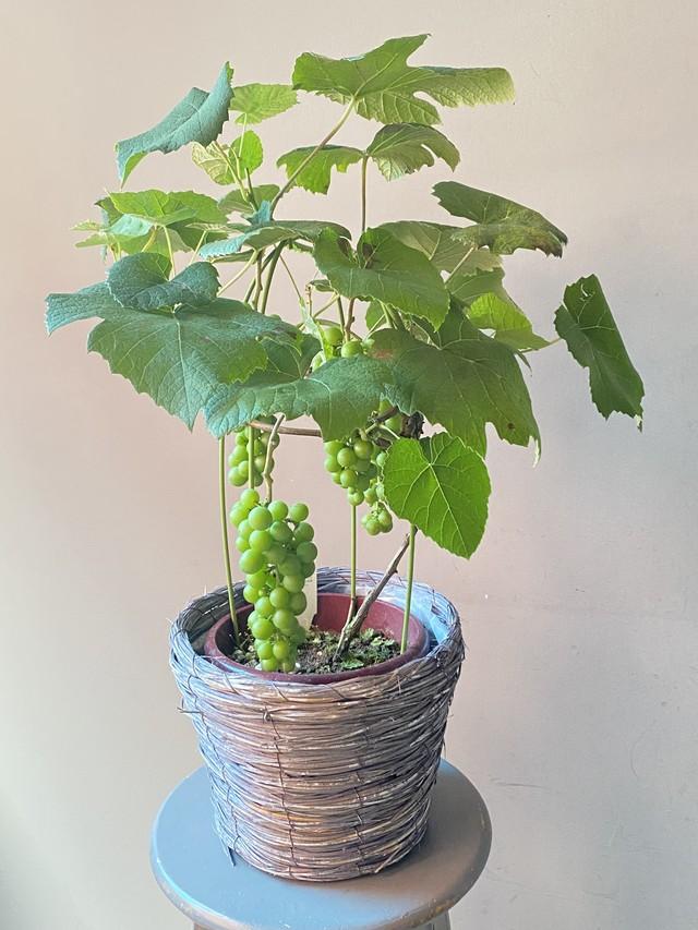 【送料込み】ブドウの鉢植え