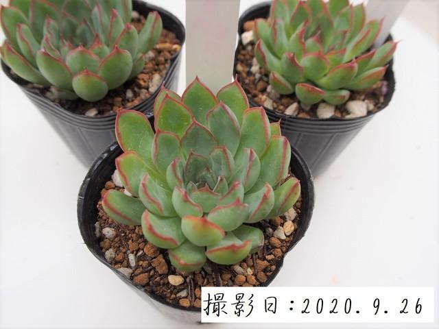 多肉コレクション 群月花 ぐんげっか(エケベリア属)2.5号 多肉植物