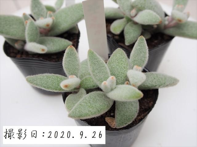多肉植物 福兎耳 フクトジ(カランコエ属)いとうぐりーん 産直苗 2号
