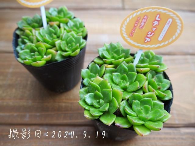 多肉コレクション 樹氷 じゅひょう(セデベリア属)2.5号 多肉植物