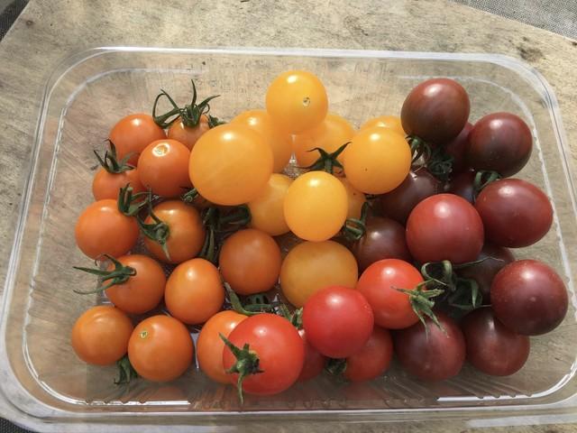 有機無農薬栽培 カラフルミニトマトShiki 500g ササベジ 送料無料
