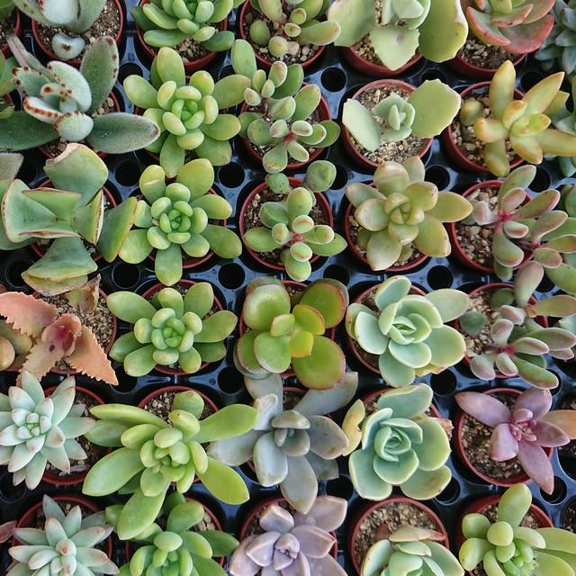 多肉植物1号pot苗 3品種セット
