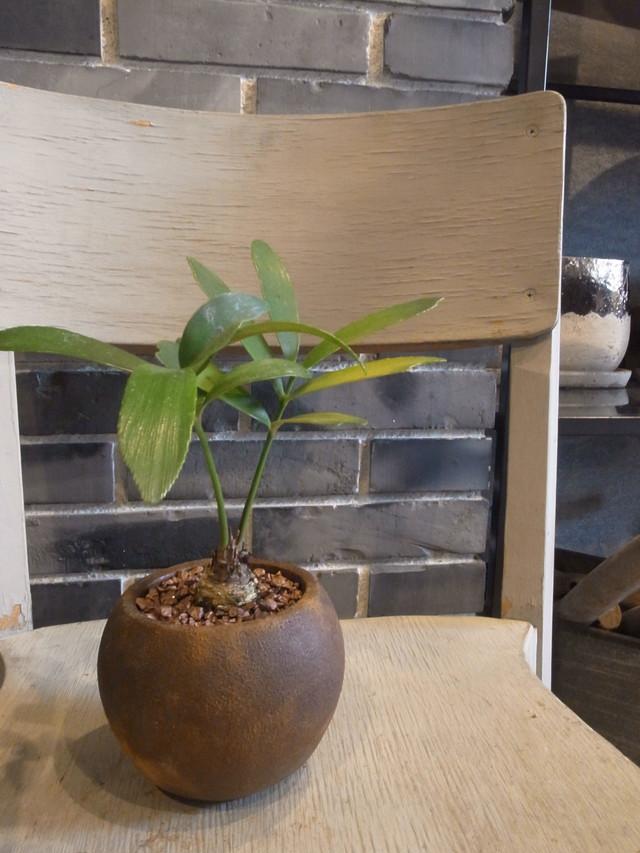 ザミア(Zamia) 鉢植えset