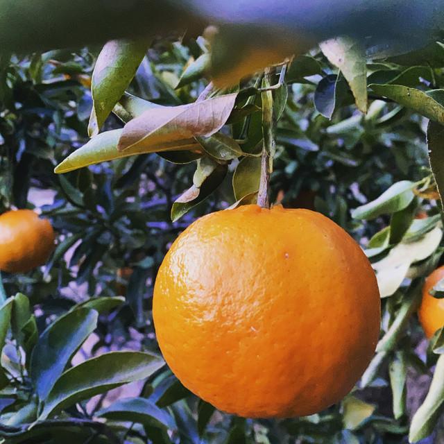 自然栽培 ポンカン1kg(6個前後) 高知県産 樹上完熟