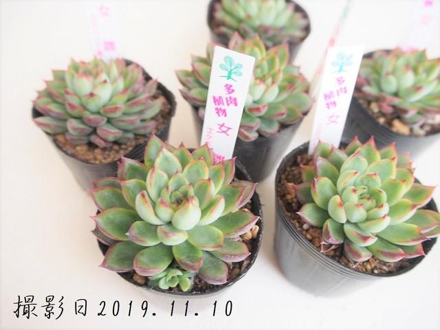 多肉植物 女雛 メビナ(エケベリア属)いとうぐりーん 産直苗 2号