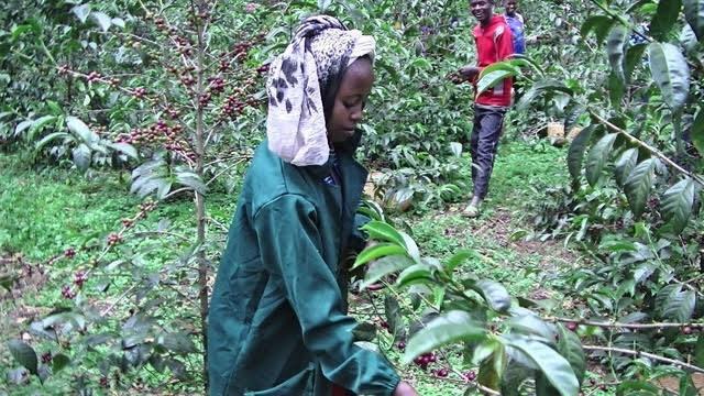 世界から注目されるエチオピアのコーヒー農園 ETHIOPIA Hambela Alaka Sun dried 100g