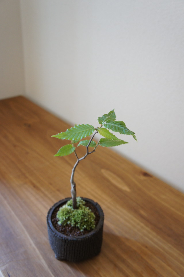盆栽 姫水木