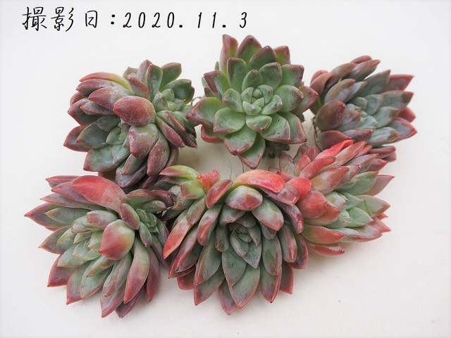【新品種】カリビアンハート 韓国苗 多肉植物