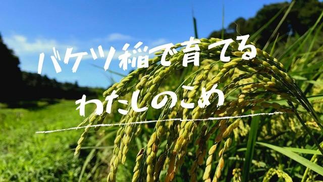 バケツ稲で育てるわたしのこめ (グループ参加のみ) 4/11締め切り