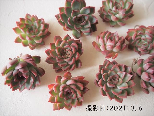 メビナ×ブラッドリー 韓国苗 多肉植物