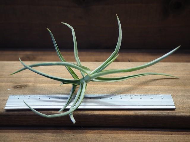 チランジア / デュラティ (T.duratii) Sサイズ