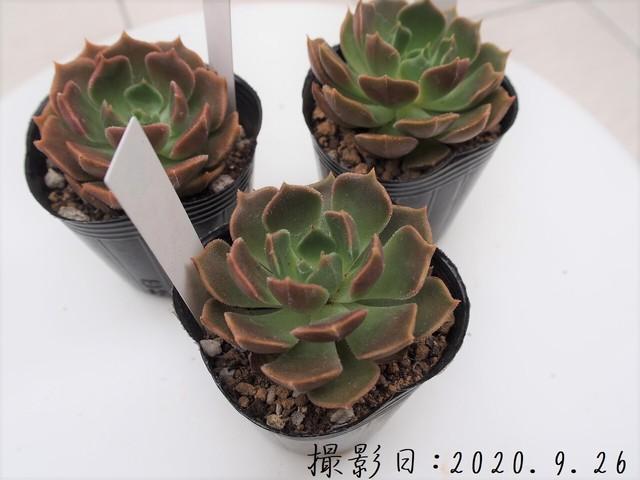多肉植物 バニラビズ(エケベリア属)いとうぐりーん 産直苗 2号
