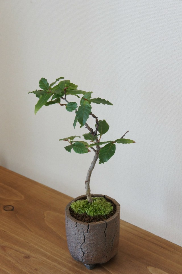 盆栽 ナツハゼ