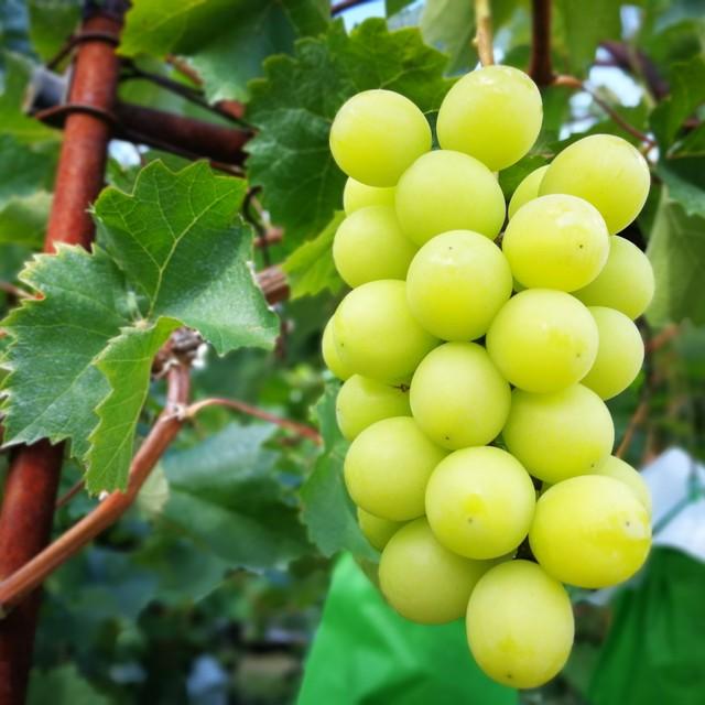 (秋の新米から販売開始)【自然循環型農法で育てたお米】信州りんごの循環米(12合1.8kg)