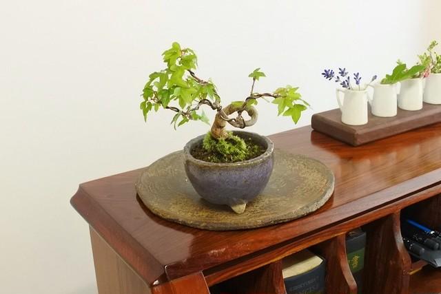 【葉/LEAF】ミニカエデ+紫鉢(L-8)