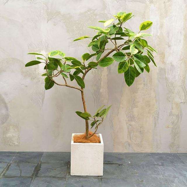 【現物】観葉植物 フィカス アルテシマ 8号・中型・※配送近隣限定 3-0026