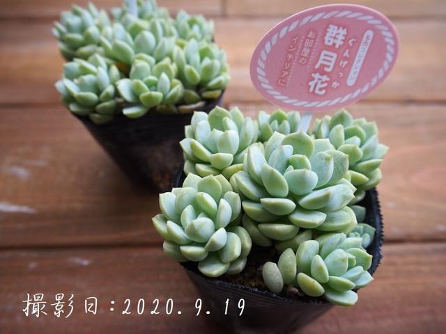 多肉植物 月影(エケベリア属)いとうぐりーん 産直苗 2号
