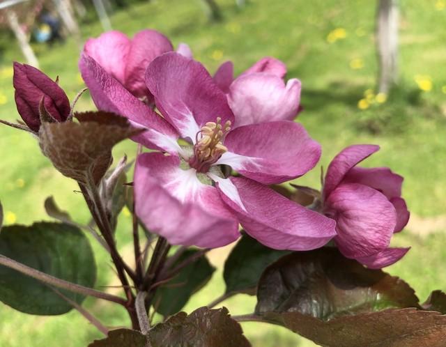 Fleur de pomme  rouge(赤い果肉りんごの花 芳香蒸留水)お試し価格にて提供!