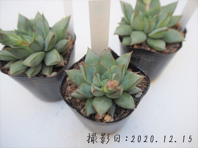 多肉植物 花野バラ(エケベリア属)いとうぐりーん 産直苗 2号