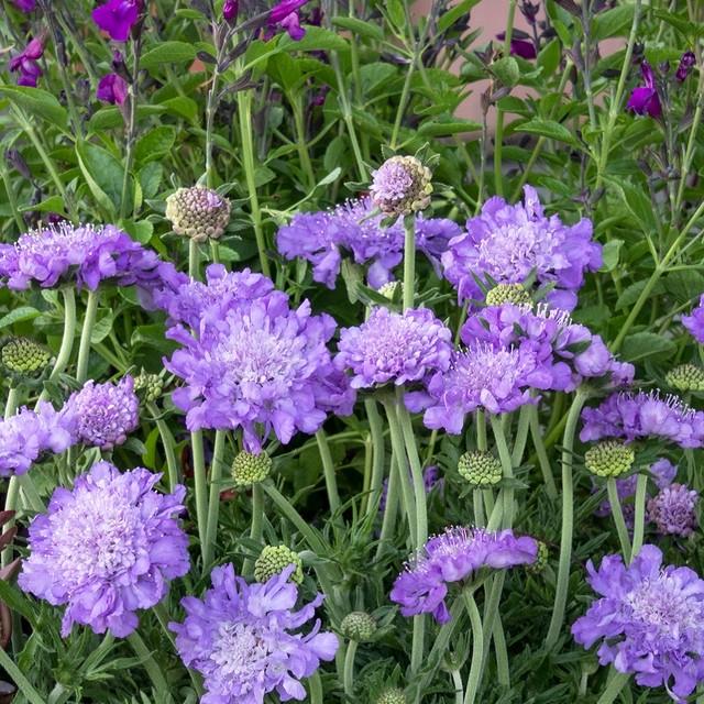 スカビオサ 矮性 ブルーノート Scabiosa japonica var. alpina