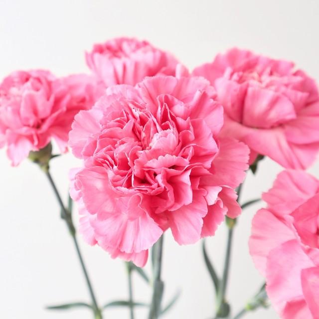 母の月特集! 母の月 カーネーション 真鍋農園『フェミニンミナミ』優しいピンク