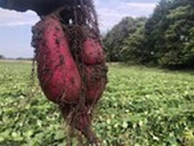 自然栽培さつまいも 紅はるか 10キロ