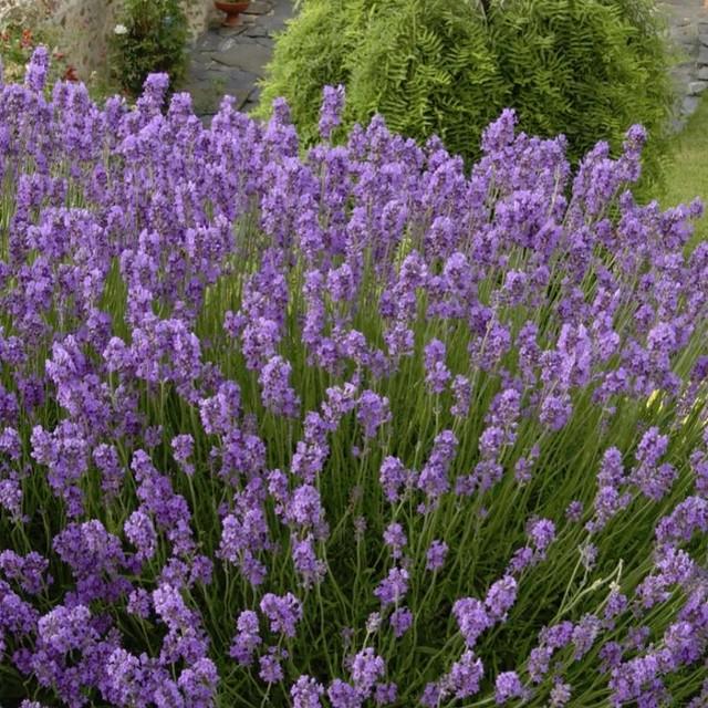 ラベンダー イングリッシュ系 ドワーフブルー Lavandula angustifolia `Dwarf Blue'