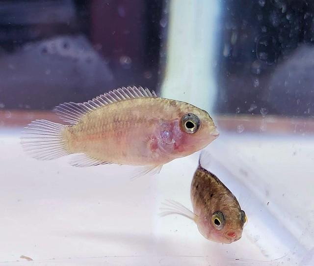 飛騨ブリード アドケタ幼魚 1匹