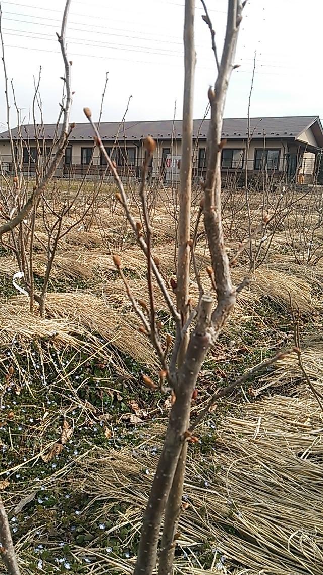 ヘーゼルナッツ(トンダジェンティーレデッレランゲ種)苗木